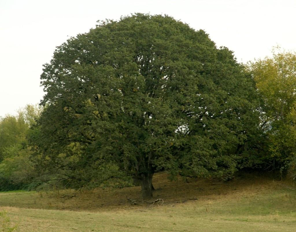 Quercus_garryana_Vgarryana