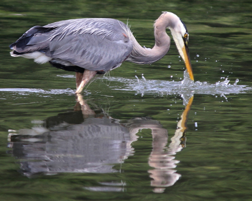 Heron Fishing