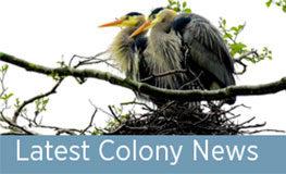 Male Herons Begin the Breeding Season
